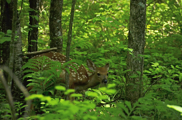 A Fawn in Sapsucker Woods